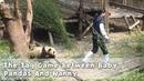 The Tag Game Between Baby Pandas And Nanny iPanda