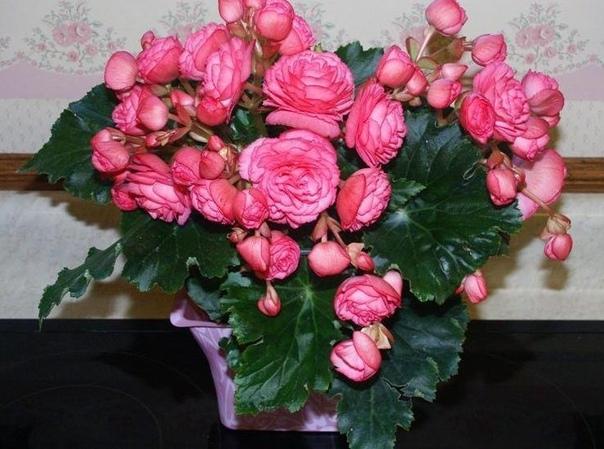 Бегония Элатиор Настоящей красавицей среди декоративноцветущих растений считаю бегонию Элатиор. Увидев это чудо в магазине, не смогла устоять перед такой красотой. Сразу после покупки пересадила