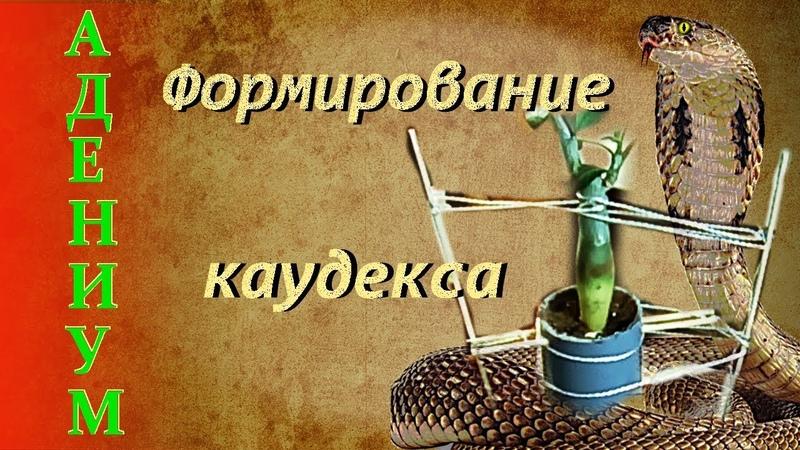 Адениум Формирование каудекса Техника Анаконда