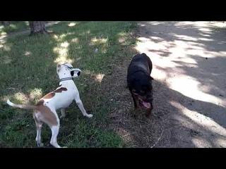 Берта, Шам и новый мячик
