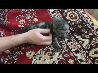 Шотландский Мраморный котенок Казань