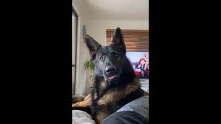 When German Shepherd heard his Favorite Word! Try not to laugh 🤣🤣
