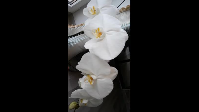 Сого Юкидан домашнее цветение июль 2019