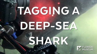 Close encounter with a deep-sea shark