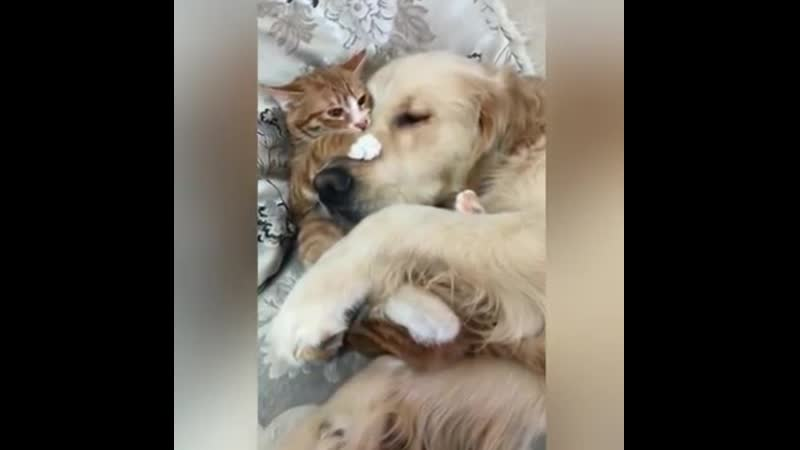 Gentle Golden Retriever and Cuddly Kitten Are Pure