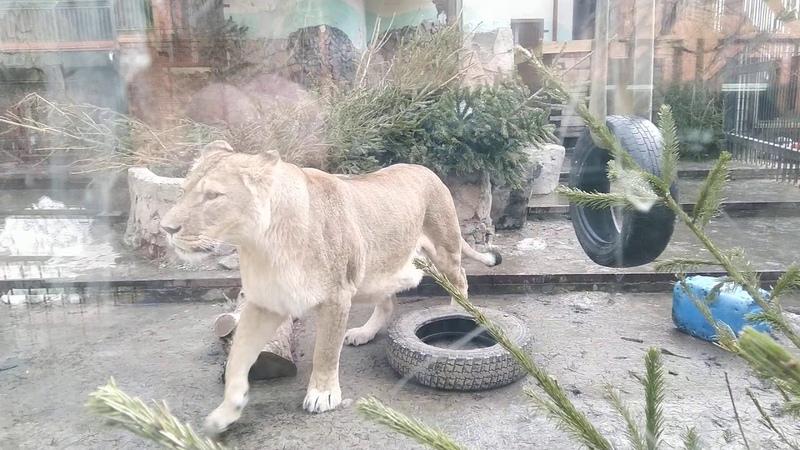 Екатеринбургский зоопарк. Игры котов. Львиный прайд против тигра. Lions vs Tiger