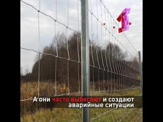 На трассе М8 в Ярославской области сделали ограждения от выхода лосей