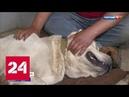 Волок за машиной в Подмосковье спасли от живодера собаку породы алабай - Россия 24