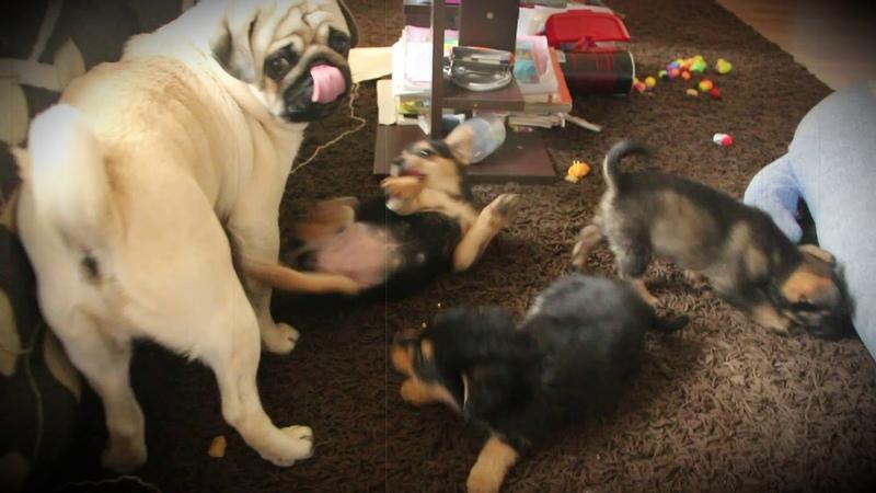 Мопс Арни vs Щенки Pug Arnie vs Puppies