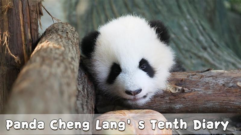 Panda Cheng Lang s Tenth Diary iPanda