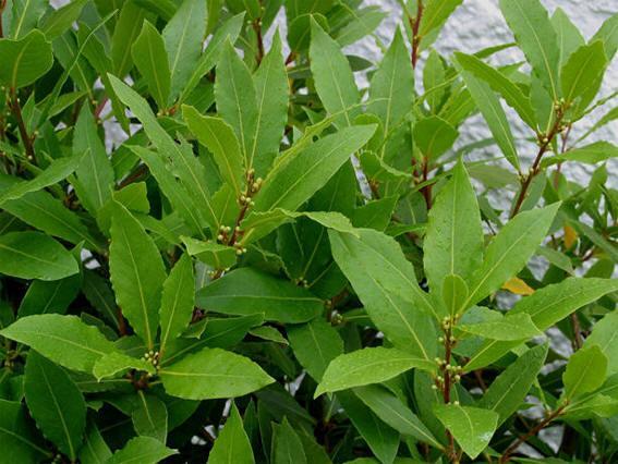 ЛАВР БЛАГОРОДНЫЙ Лавр благородный - вечнозеленое дерево-долгожитель, довольно крупное, высотой 10-15 м. Все растение выделяет сильный специфический запах, но как пряность используются только