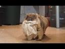 Жирные и прекрасные сурки самозабвенно воруют тряпочки Fat marmots steal rags
