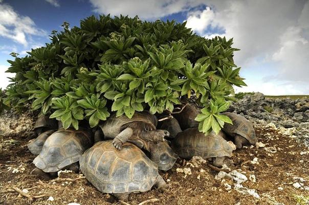Черепахи прячутся от палящего солнца.