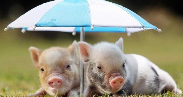 Поверья и приметы о свиньях.