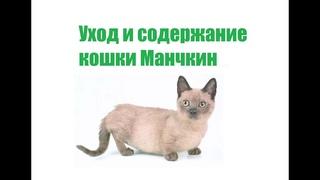 Кошка манчкин: описание, уход и содержание