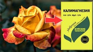 Дайте розам калимагнезию осенью в сентябре! Люди будут останавливаться чтобы сфоткать ваши цветы!