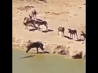 do you choose being ripped to pieces by wild dogs or drowning by croc do you choose being ripped to pieces by wild dogs or d