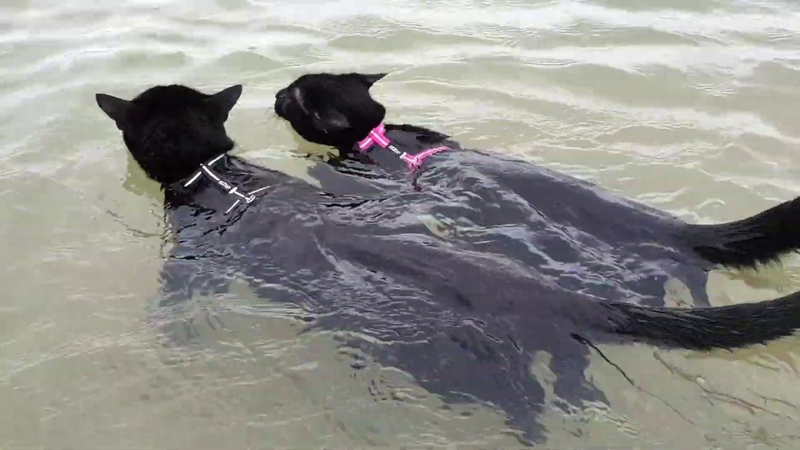 Adorable cats swimming together for the first time
