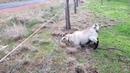 Овца и электрозабор.