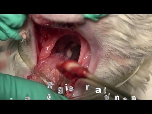 Очистка дыхательных путей после удаления зуба у кошки с помощью аппликатора с хлопчатым наконечником Clearing the Airway Post Extractions in a Cat with Cotton Tipped Applicators