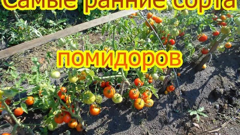 Самые ранние сорта помидоров