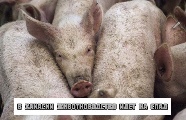 В Хакасии животноводство идёт на спад