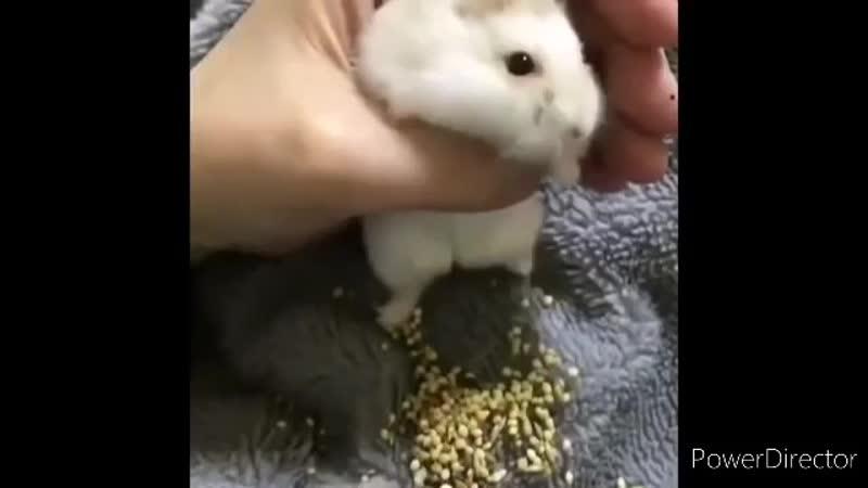 Хомяк как пылесос засасывает еду