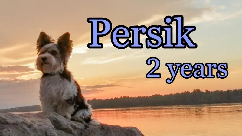 🍑 Persik ⚡ 2 years ⚡ Biewer Terrier 🍑