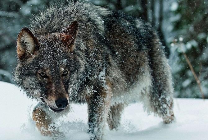 Как решить проблему с волками рассказали в Госохотнадзоре КЧР