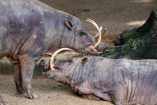 Свинья Бабирусса В Индонезии есть Малайский архипелаг, именно там и проживают эти необычные представители семейства свиней. Селиться они предпочитают подальше от людей и в недоступных для