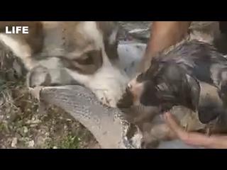 Собака привела людей к упавшему в битум щенку и спасла его