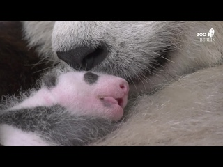 В Берлинском зоопарке в конце августа появились на свет сразу две крошечные большие панды