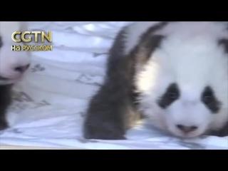 Самая большая семья панд в Европе