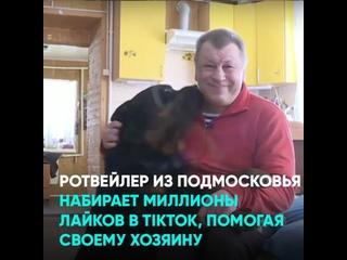 Ротвейлер из Подмосковья набирает миллионы лайков в TikTok, помогая своему хозяину