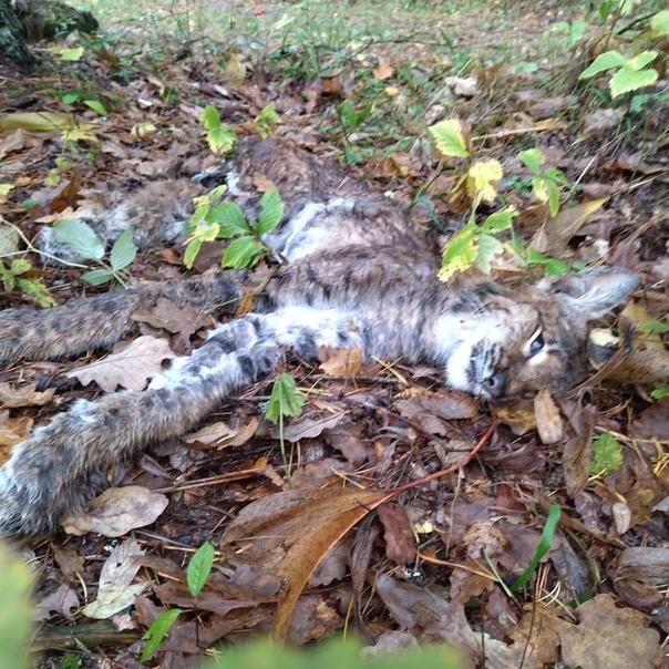 Сегодня в лесу обнаружил мёртвую рысь недалеко от ...