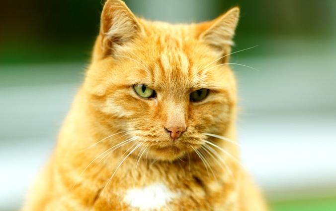Ося дома: пропавшего кота вернули в музей Анны Ахматовой