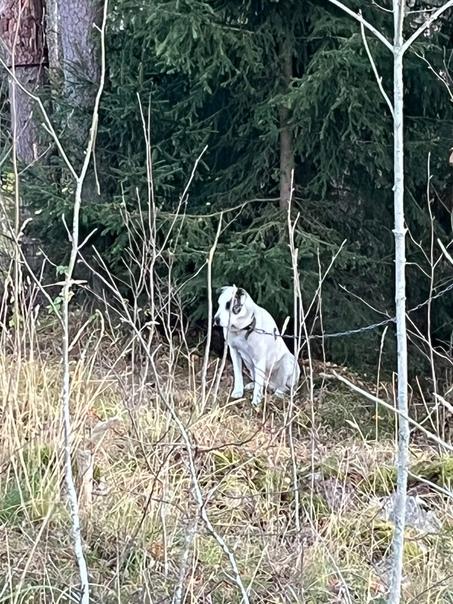 У кого потерялась собака? Алабай или САО. Запутала...