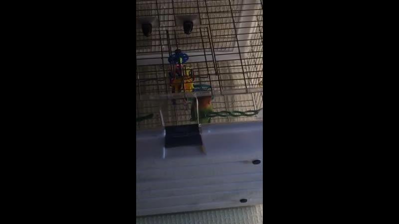 Мой говоруша- попугай неразлучник