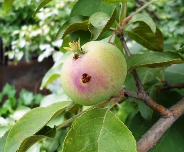 Как защитить яблоню от плодожорки.