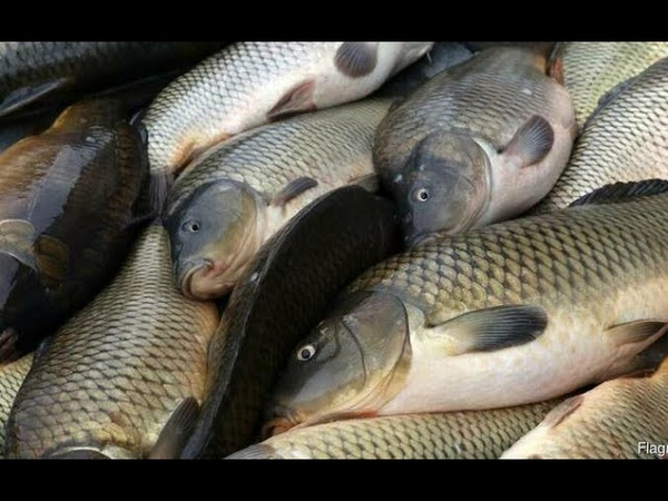 ЖОР САЗАНА ПРЁТ КОРМУШКУ ВМЕСТЕ С ГРУЗОМ Рыбалка на ФИДЕР МНОГО САЗАНА но он весь МЕЛКИЙ