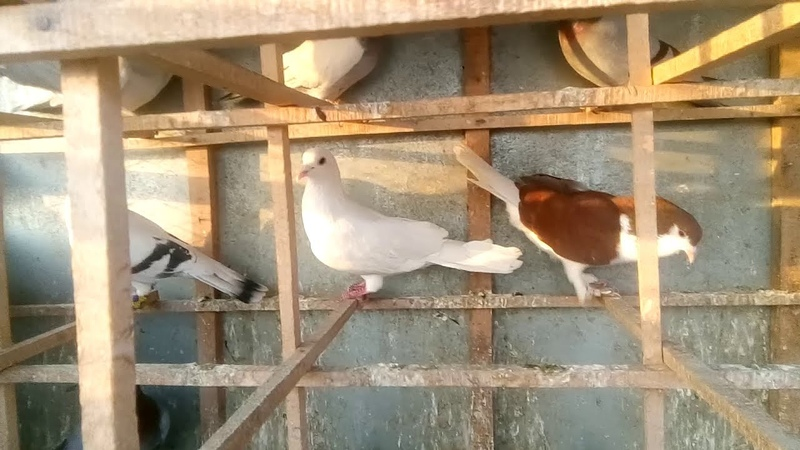 Colourful pigeon kabootar baaz mujjahid morani of jahapur