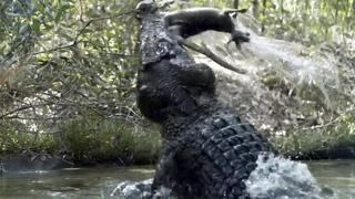 Свирепый хозяин рек и болот! Гребнистый крокодил – самый крупный и сильный в мире рептилий!